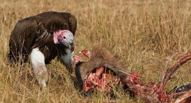 Хищная птица ест добычу в саванне кения танзания сафари восточная африка