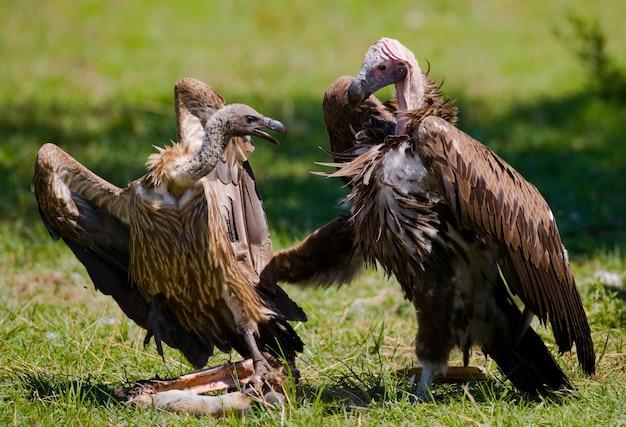Хищные птицы дерутся друг с другом за добычу кения танзания сафари восточная африка