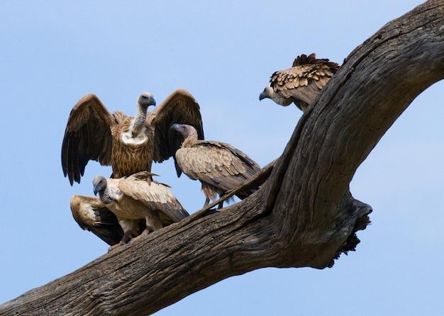 Хищные птицы сидят на дереве кения танзания сафари восточная африка