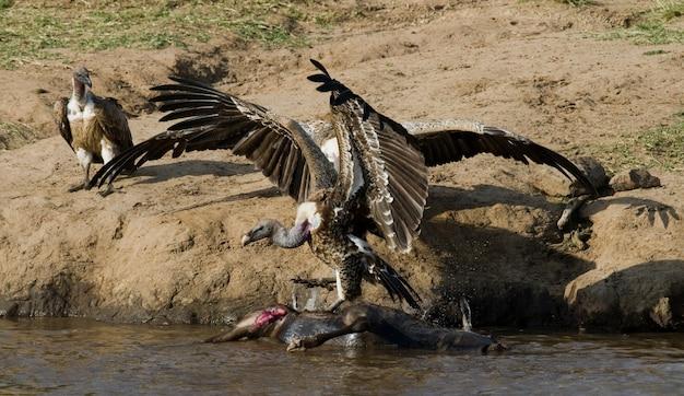 Хищные птицы поедают добычу в саванне кения танзания сафари восточная африка