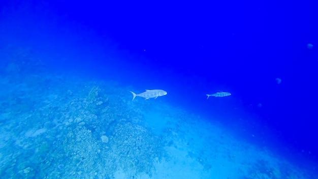 홍해 바닥에 있는 육식성 물고기는 헤엄쳐서 먹이를 추적합니다.