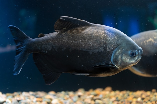 南アメリカの捕食性の魚赤いパクーピラニアは巨大な水族館で泳ぎます
