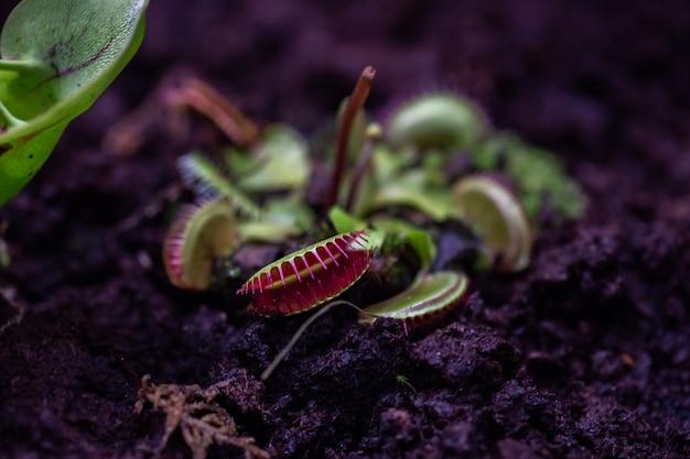 육식 식물 venus flycatcher 클로즈업 매크로 사진 수평 이미지, 부드러운 선택 초점 및 텍스트 원예 식물학자를 위한 흐릿한 배경 여유 공간