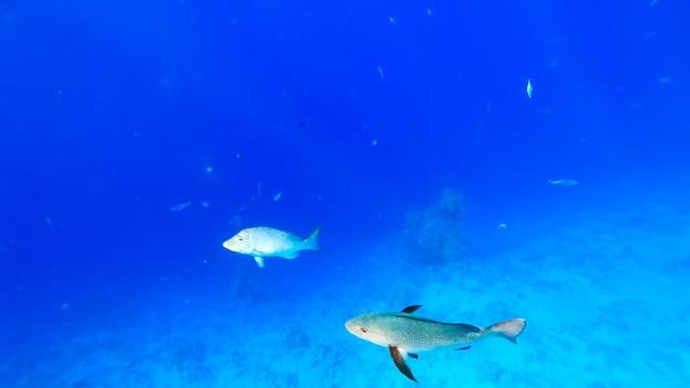 육식성 열대어들은 푸른 바다를 배경으로 헤엄을 치며 표면을 통해 태양 광선이 통과하여 이 물고기를 비춥니다.