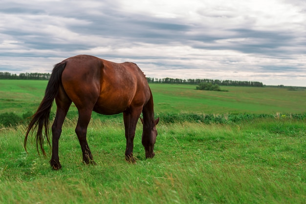 Pregnant brown horse grazing in field