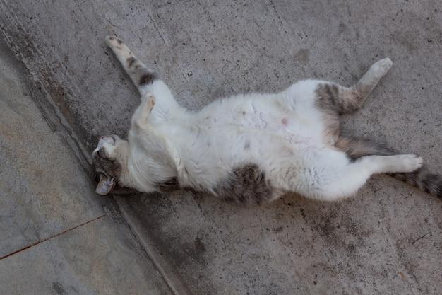 腹を上げて庭で休んでいる妊娠中の灰色がかった白い田舎猫