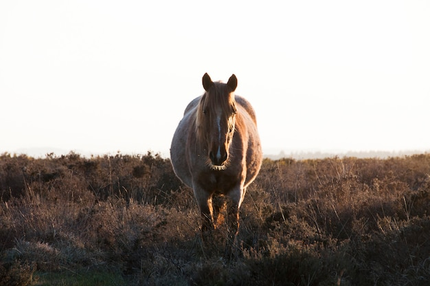 Pregnant new forest mare roaming free