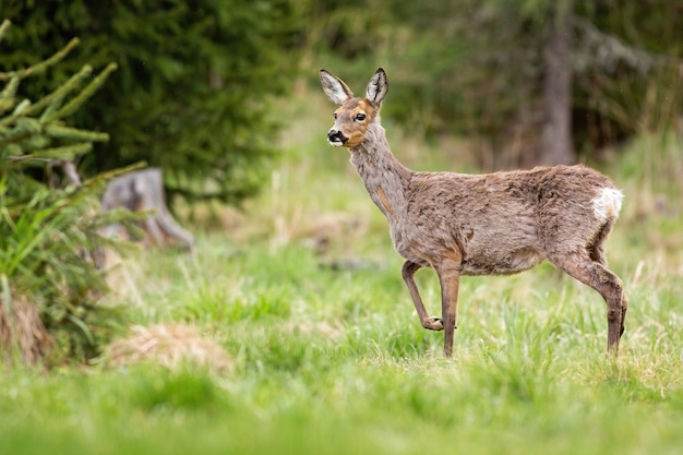 Pregnant roe deer doe changing coating on a glade in mountains during springtime.
