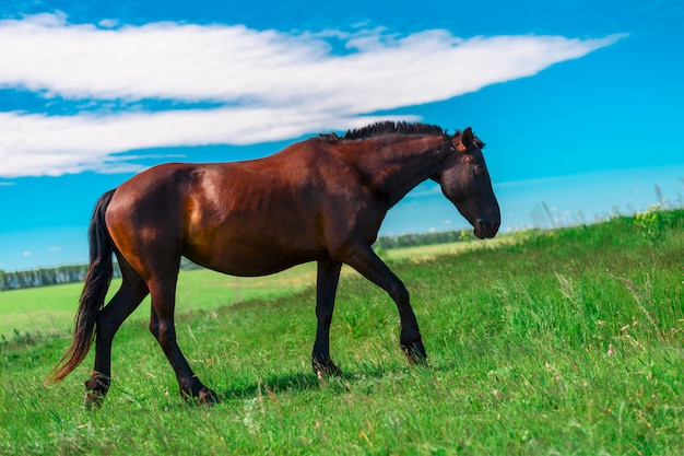Pregnant young strong horse with cropped mane is on the side of a green field