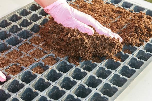 부식질 토양으로 채워진 플라스틱 묘목 카세트에 고추 씨앗 파종 준비.