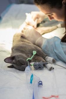 수의과 클리닉에서 고양이의 살균, 수술 준비