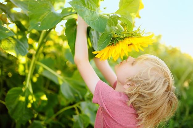 Preschooler boy walking in field of sunflowers