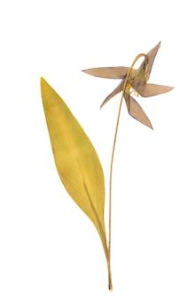 Прессованный сушеный цветок изолированные