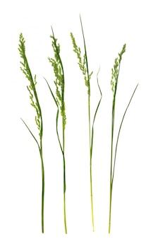 Прессованный сушеный гербарий летней травы, изолированные на белом фоне
