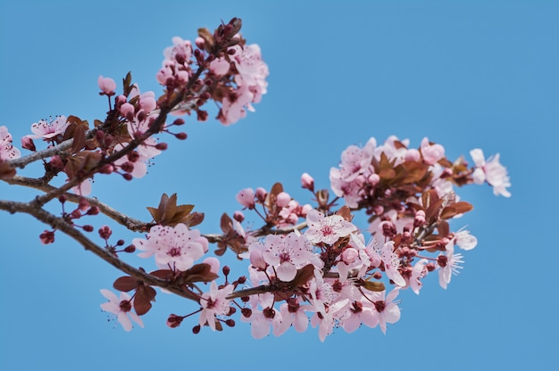 Pretty almond tree with pink flowers in the month of february