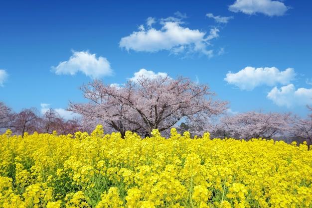 可愛くて素敵なピンクの桜の壁紙の背景、東京、ソフトフォーカス Premium写真