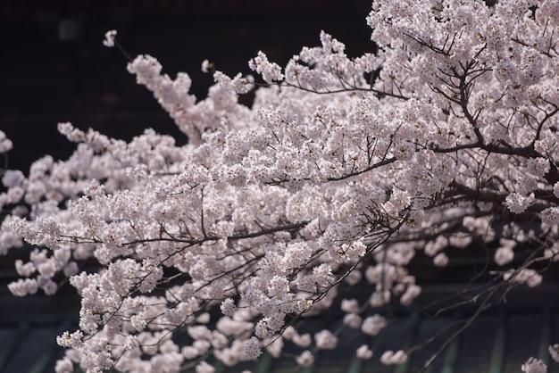 可愛くて素敵なピンクの桜の壁紙の背景、東京、ソフトフォーカス