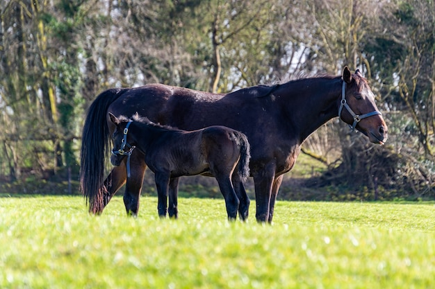 A pretty black foal stands in a paddock with its mother. summer pasture.