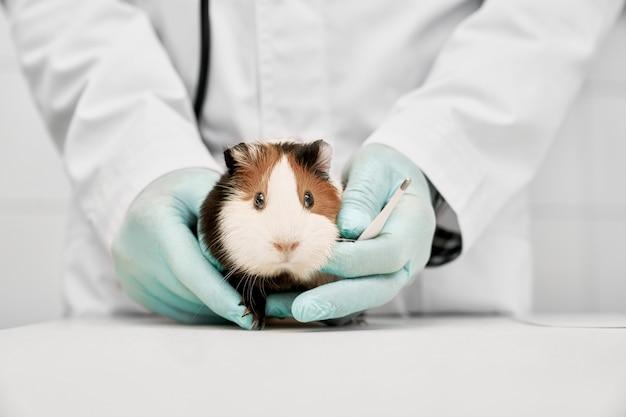 獣医の手に座っているかなり茶色と白のハムスター。白いテーブルの近くに立って小さなペットを保持している白い医療服と手袋を着用している医師。