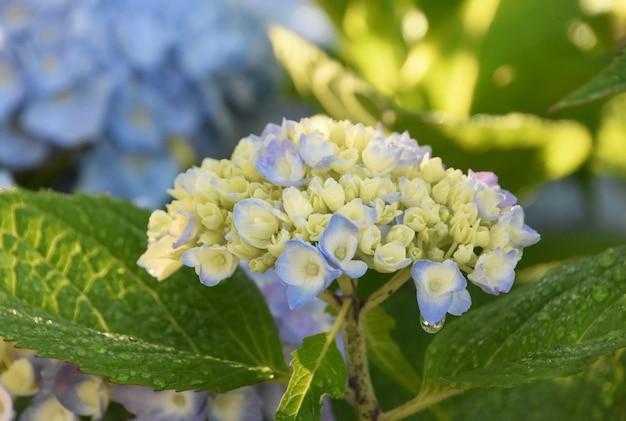 葉に露のしずくが付いたかなり新進の白いアジサイの茂み。