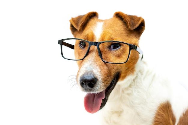かなり賢いキツネテリア犬の黒いフレームのスタイリッシュな老眼鏡。白色の背景