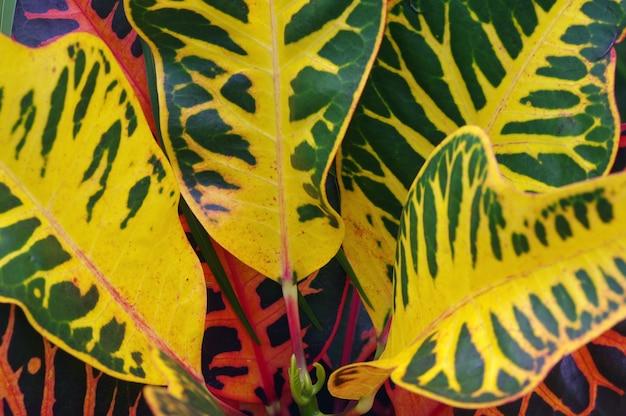 Croton (codiaeum variegatum)의 꽤 화려한 잎