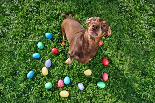 Pretty dachshud dog at the lawn with easter eggs looking up