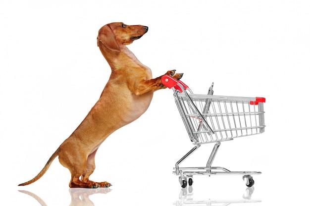 Pretty dachshund dog pushing shopping trolley