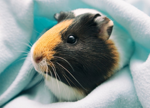 Pretty guinea pig looking in the camera