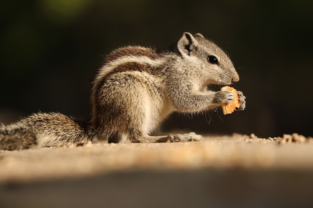 Pretty indian palm squirrel or three-striped palm squirrel eating biscuits on a stone wall