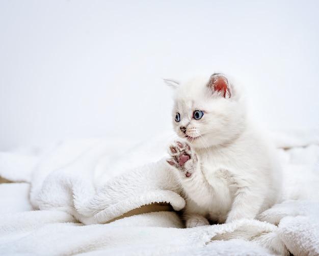Милый британский котенок лежит на белом пледе