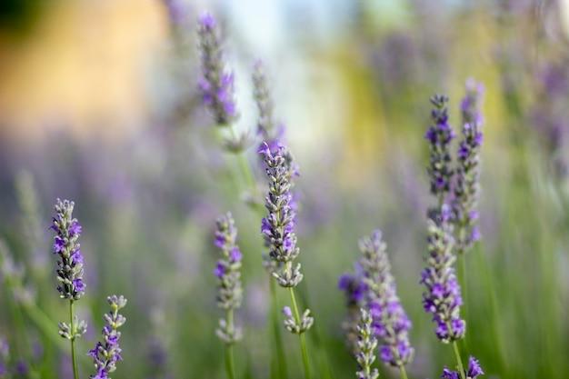 예쁜 라벤더 꽃