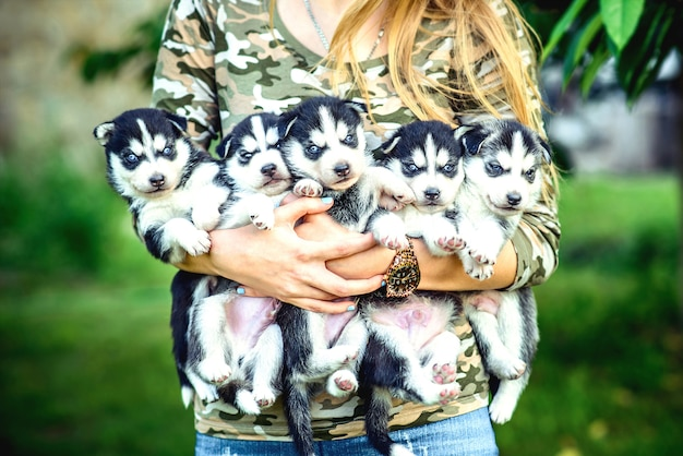 Pretty little husky puppy outdoor in woman hands