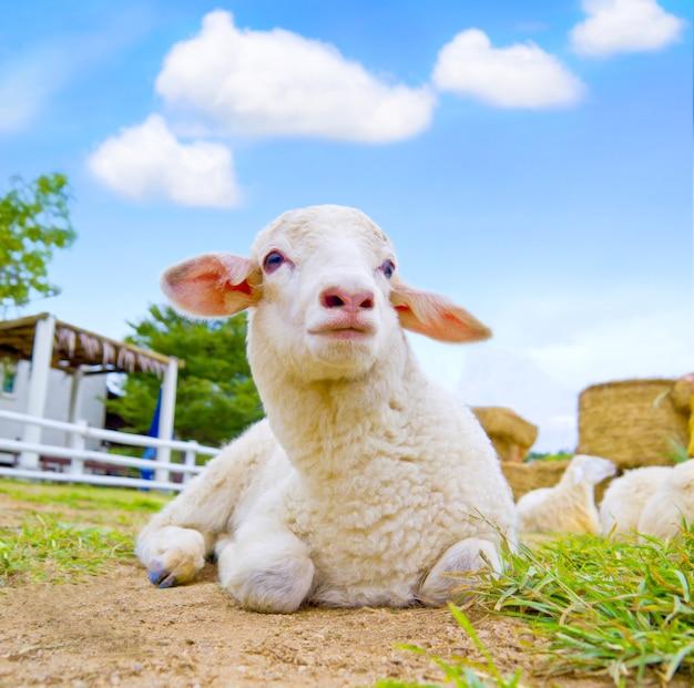 屋外の牧場に横たわっている可愛らしい羊