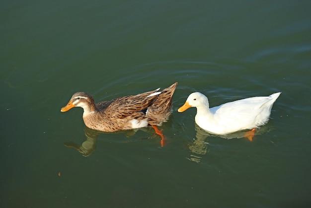 Симпатичная кряква и пекинская утка вместе плавают в пруду