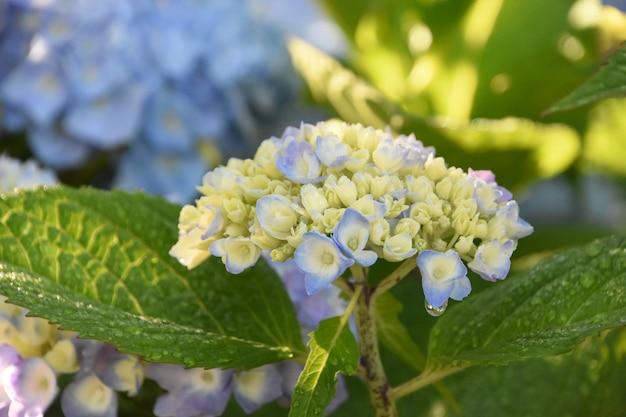 かなりパステルカラーの新進のアジサイの茂みが開花する準備ができています