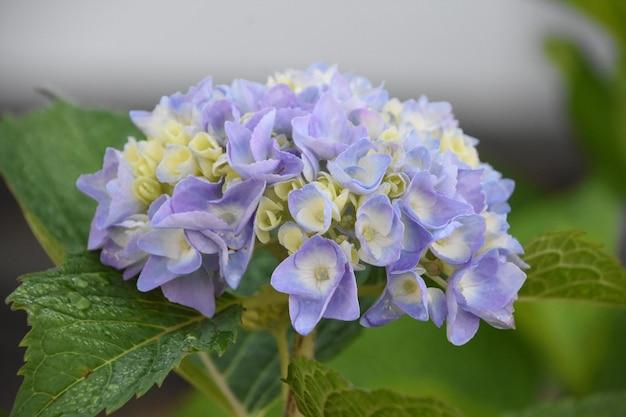 可愛らしいパステルパープルとライトブルーのアジサイの開花