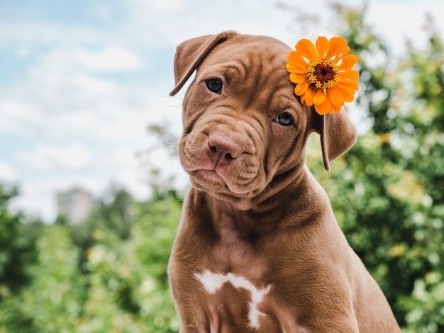 맑고 화창한 날에 푸른 하늘의 배경에 그의 머리에 밝은 꽃과 초콜릿 색상의 예쁜 강아지. 클로즈업, 야외. 보살핌, 교육, 복종 훈련, 애완 동물 기르기의 개념