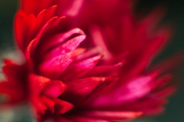 花の中のかなり赤いダリア