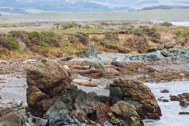 アメリカ、カリフォルニア州のビーチでとてもリラックスできるゾウアザラシ