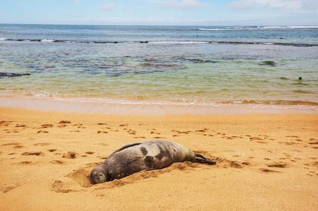 Pretty relaxing  seal in the beach, hawaii, usa