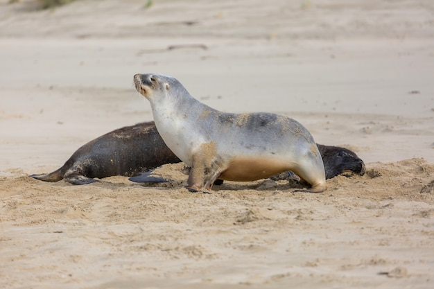 ニュージーランドのビーチでかなりリラックスできるアザラシ