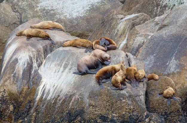 石の海岸でかなりリラックスできるアザラシ