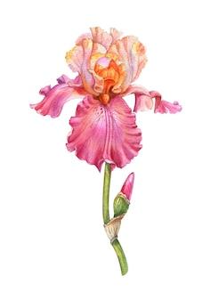 Довольно акварель конфеты розовый ирис с бутоном. ботаническая иллюстрация на белом