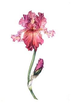 꽃 봉 오리와 예쁜 수채화 캔디 핑크 아이리스