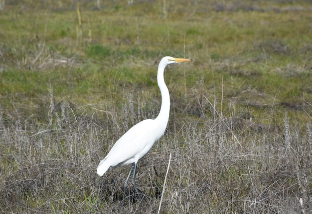 Pretty white egret bird in a rural hay field