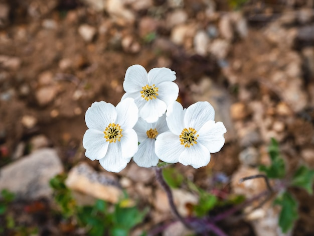 Pretty white flowers of a helianthemum rock rose plant in a alpine meadow. mountain flora. top view, close up.