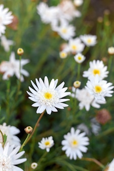 Pretty wild white daisies growing on a green meadow in spring