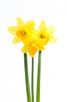 Pretty yellow daffodils with stems
