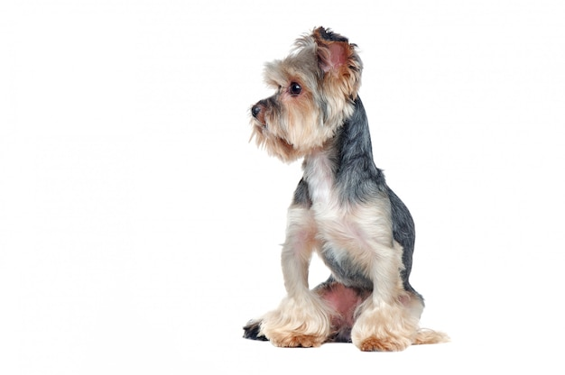 Pretty yorkshire terrier dog looking to the side in a white